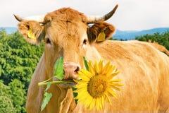 Mucca divertente con il fiore fotografia stock