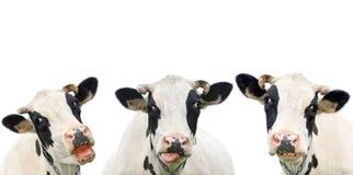 Mucca divertente tre isolata su un bianco Fotografie Stock Libere da Diritti