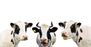 Mucca divertente tre isolata su un bianco Fotografia Stock Libera da Diritti