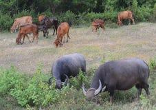 Mucca e Buffalo Immagini Stock Libere da Diritti