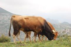 Mucca e Bull Fotografie Stock Libere da Diritti
