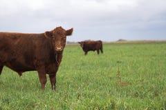 Mucca e campo Fotografie Stock