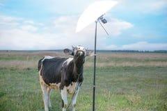 Mucca e campo di erba Fotografia Stock Libera da Diritti