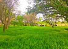 Mucca e campo di erba fresca Fotografia Stock