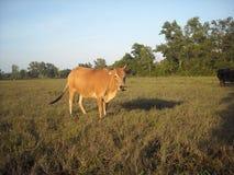 Mucca e campo di mais fotografie stock