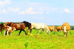 Mucca e cavalli Immagini Stock Libere da Diritti