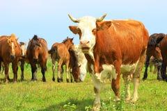 Mucca e cavalli Fotografia Stock