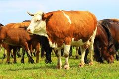 Mucca e cavalli Immagine Stock Libera da Diritti