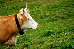 Mucca e cowbell alpini Fotografie Stock Libere da Diritti