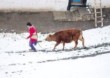 Mucca e donna - villaggio di Langza, valle di Spiti, Himachal Pradesh fotografie stock