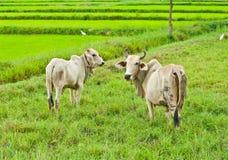 Mucca e figlio della madre Fotografia Stock Libera da Diritti