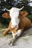Mucca e gamba Fotografia Stock