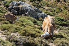 Mucca e giovane vitello che vagano liberamente sul prato della montagna Fotografia Stock