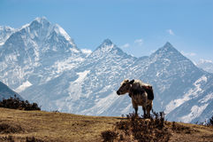 Mucca e montagna diritte in Himalaya Immagine Stock