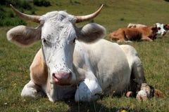 Mucca e mosche Fotografia Stock