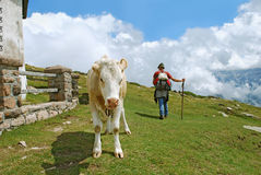 Mucca e pastore Immagine Stock Libera da Diritti
