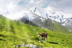 Mucca e sole Fotografia Stock