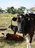Mucca e vitelli fotografia stock