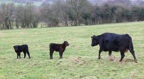 Mucca e vitelli Immagine Stock