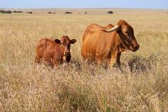 Mucca e vitello Fotografia Stock