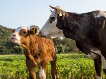 Mucca e vitello Immagine Stock