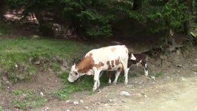 Mucca e vitello stock footage