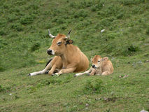 Mucca e vitello Fotografie Stock