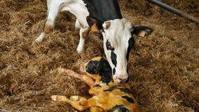 Mucca e vitello in bianco e nero neonato che si trovano in paglia dentro il granaio video d archivio