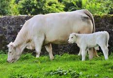 Mucca e vitello biondi Fotografia Stock
