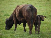 Mucca e vitello che pascono Fotografie Stock