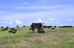 Mucca e vitello con il gregge dei bovini da carne Immagine Stock Libera da Diritti