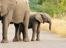 Mucca e vitello dell'elefante africano. Parco nazionale di Kruger, Sudafrica immagine stock