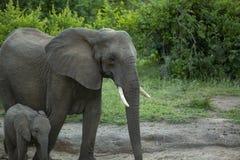 Mucca e vitello dell'elefante nel cespuglio immagini stock libere da diritti