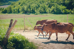 Mucca e vitello di mamma Immagine Stock