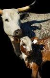 Mucca e vitello di Nguni Immagini Stock Libere da Diritti