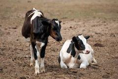 Mucca e vitello nel campo Fotografia Stock