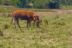 Mucca e vitello nel villaggio di Almograve Immagine Stock Libera da Diritti