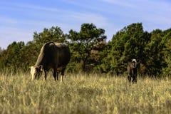Mucca e vitello in pascolo marrone Immagini Stock Libere da Diritti