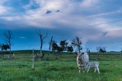 Mucca e vitello sulle praterie Fotografia Stock