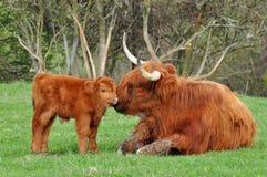 Mucca e vitello sveglio del bestiame dell'altopiano Immagine Stock