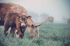 Mucca e vitello in un campo Fotografia Stock