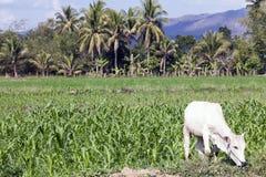 Mucca ed agricoltura in Tailandia Fotografia Stock Libera da Diritti