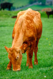 Mucca felice Immagini Stock