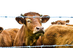 Mucca felice che gode dell'aria fresca della mattina Fotografie Stock Libere da Diritti