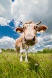 Mucca felice e curiosa in azienda agricola ecologica Immagini Stock Libere da Diritti