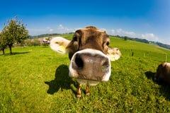 Mucca, fine divertente del radiatore anteriore del fisheye in su Fotografia Stock