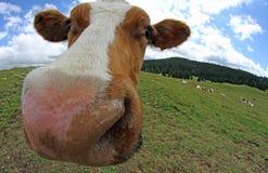 Mucca fotografata con un fish-eye Immagine Stock Libera da Diritti