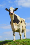 Mucca frisone britannica contro cielo blu Immagini Stock