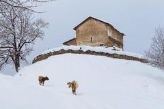 Mucca georgiana sui precedenti del tempio antico Immagini Stock