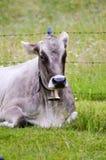 Mucca grigia con una menzogne della campana Immagini Stock Libere da Diritti